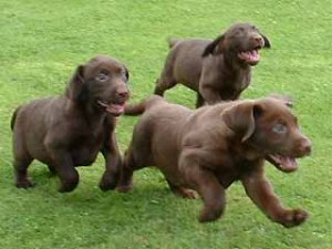 I didn't have a picture for this post, so here is a random picture of lab puppies I found on the internet.